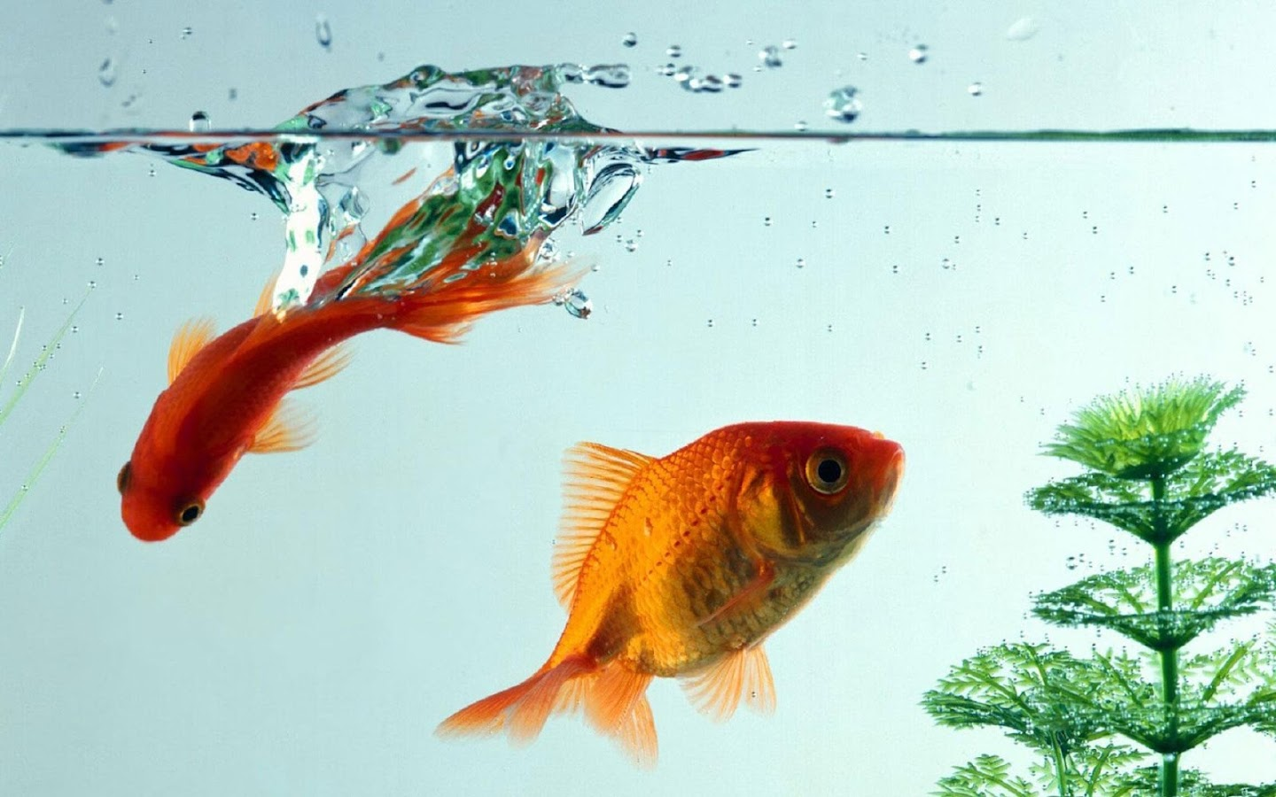 Goldfish live wallpaper android apps on google play for Fish that can live with goldfish