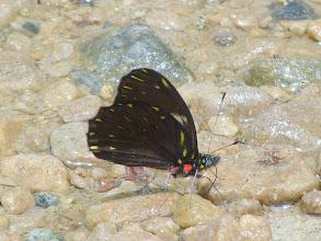 Photo: BLACK-VEINED DARTWHITE--catasticta teutamis---RIO ANZU