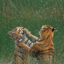 Fight of tigers by Pratik Humnabadkar - Animals Lions, Tigers & Big Cats ( flight, animals, nature, tiger, forestindia, wildlife )
