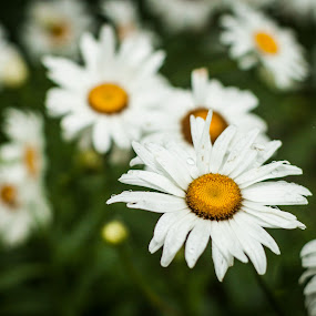 Daisies by Mary Phelps - Flowers Flowers in the Wild ( south carolina, daisies, flowers, greenville, summer,  )