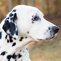 dalmatian wallpapers icon