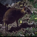 Malay Chevrotain