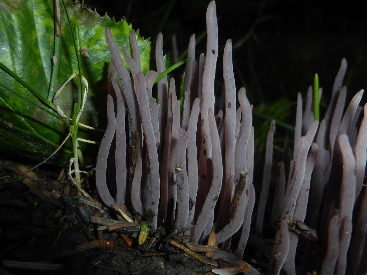 Purple Coral Fungus