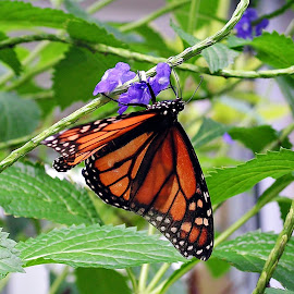 Monarch Butterfly by MaryBeth Schepper - Animals Other ( nature, butterfly,  )