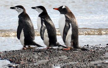 """Photo: """"Can I join the parade?""""   Gentu pinguin in back joining two chinstrap pinguins for the march"""