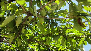 Photo: Cires (Prunus avium) - din Piata Repmana - 2017.07.04