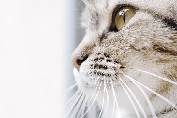 Profilo felino di -Os-