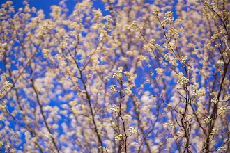 Photo: Spring is Coming!  Cherry Blossoms, Washington, D.C.