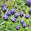 Small Grape Hyacinth (Μούσκαρι το βοτρυανθές)