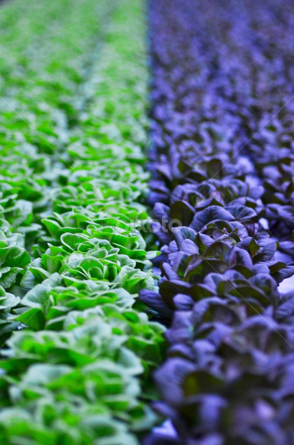 Same Species, Different Color. by Najmie Naharuddin - Nature Up Close Leaves & Grasses ( salad )