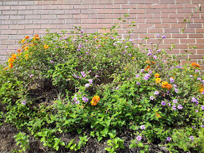 Photo: Two bushes intertwined, if the different-colored flowers are any indication.