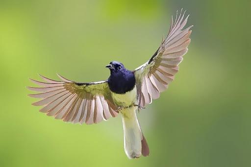 Tips Merawat Burung Kacer