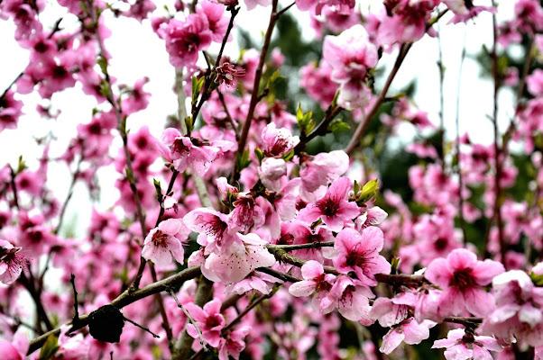 Fiori rosa fiori di pesco di Cary