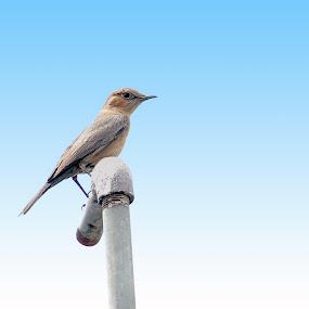 The Brown Rock Chat by Shubhendu Bikash Mazumder - Animals Birds