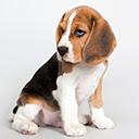 Beagle Wallpapers Beagles New Tab