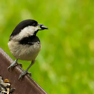 Black-Capped Chickadee 2.jpg
