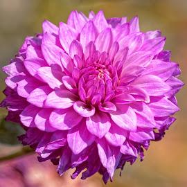 Dahlia 9400 by Raphael RaCcoon - Flowers Single Flower