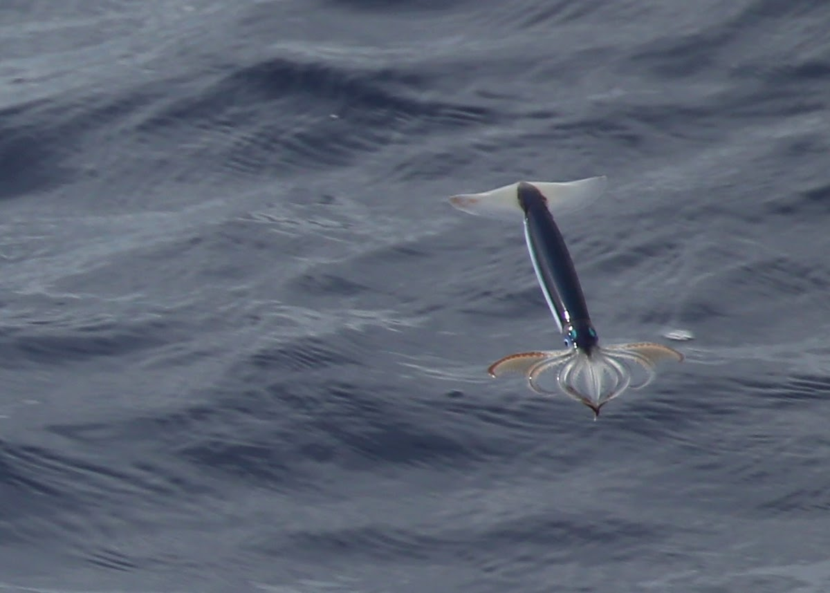 Pacific Flying Squid