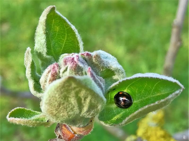 2019-04-04 LüchowSss Garten Apfelknospen + Zweipunkt-Marienkäfer (Adalia bipunctata), schwarze Variante
