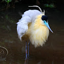 Garça-real (Capped Heron)