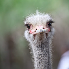 Ostrich close up  by Kedar Banerjee - Novices Only Wildlife ( beauty, ostrich, nature up close, beauty in nature, portrait,  )