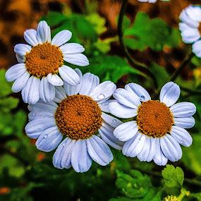 3 Flowers  by Claudio de Freitas Photography - Flowers Flower Gardens ( 3, brixton, london, mobile photos, claudiodefreitasphotography, 3 flowers, photography,  )