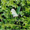 Pelagodes antiquadraria 樟翠尺蛾
