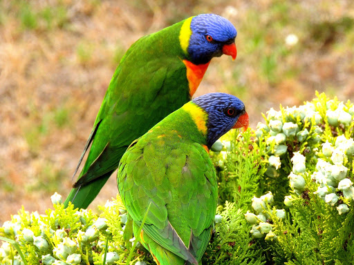 rainbow-lorikeet.jpg - The Rainbow Lorikeet, a species of Australasian parrot found in Australia, Indonesia, Papua New Guinea, New Caledonia, Solomon Islands and Vanuatu.