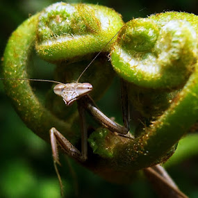 Hi There ! by Ardika Septyawan - Animals Insects & Spiders ( mantis )