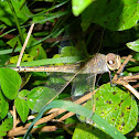 Ruddy darter (female)