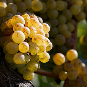 Zizers - Malans, Graubünden, Switzerland by Serguei Ouklonski - Nature Up Close Gardens & Produce ( winemaking, harvest, nature, fruit, grape, freshness, food, vineyard, plant, ripe, bunch, autumn, winery, vine, wine, grapes )