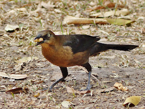 Photo: Dohlengrac​kel (Quiscalus mexicanus, Great-tail​ed Grackle) Weibchen