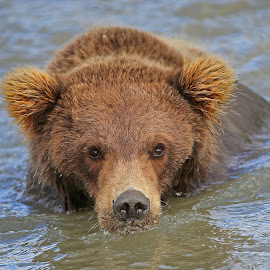 Going for a swim! by Anthony Goldman - Animals Other Mammals ( cub, swimming, mammal, bear, brown, water, wild, lake clark, wildlife,  )
