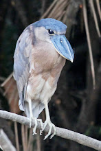 Photo: Boat-billed Heron