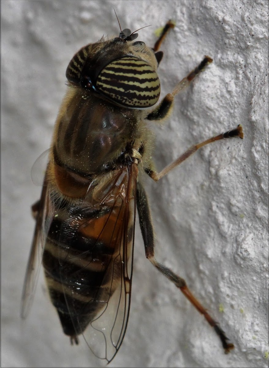 Drone Fly Bee Mimic