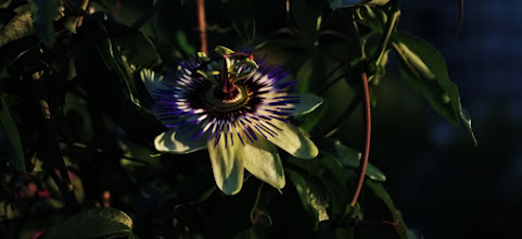 Photo: passionflower photographed at mom's balcony this evening ...  This is for all friends out there, I'm away during the next few days and will be rarely online. Heading now to my best freind +Michael Schmidt aka +Pixelschmidt to assist him in a weddingshoot and to document this with my cam. Have a great time dear pluskins and see/read you in a couple of days again!  Jon Gomm - Passionflower ... an amazing musician!  #floralfriday / +FloralFriday / #evilcrop
