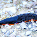 Red slug; Babosa roja
