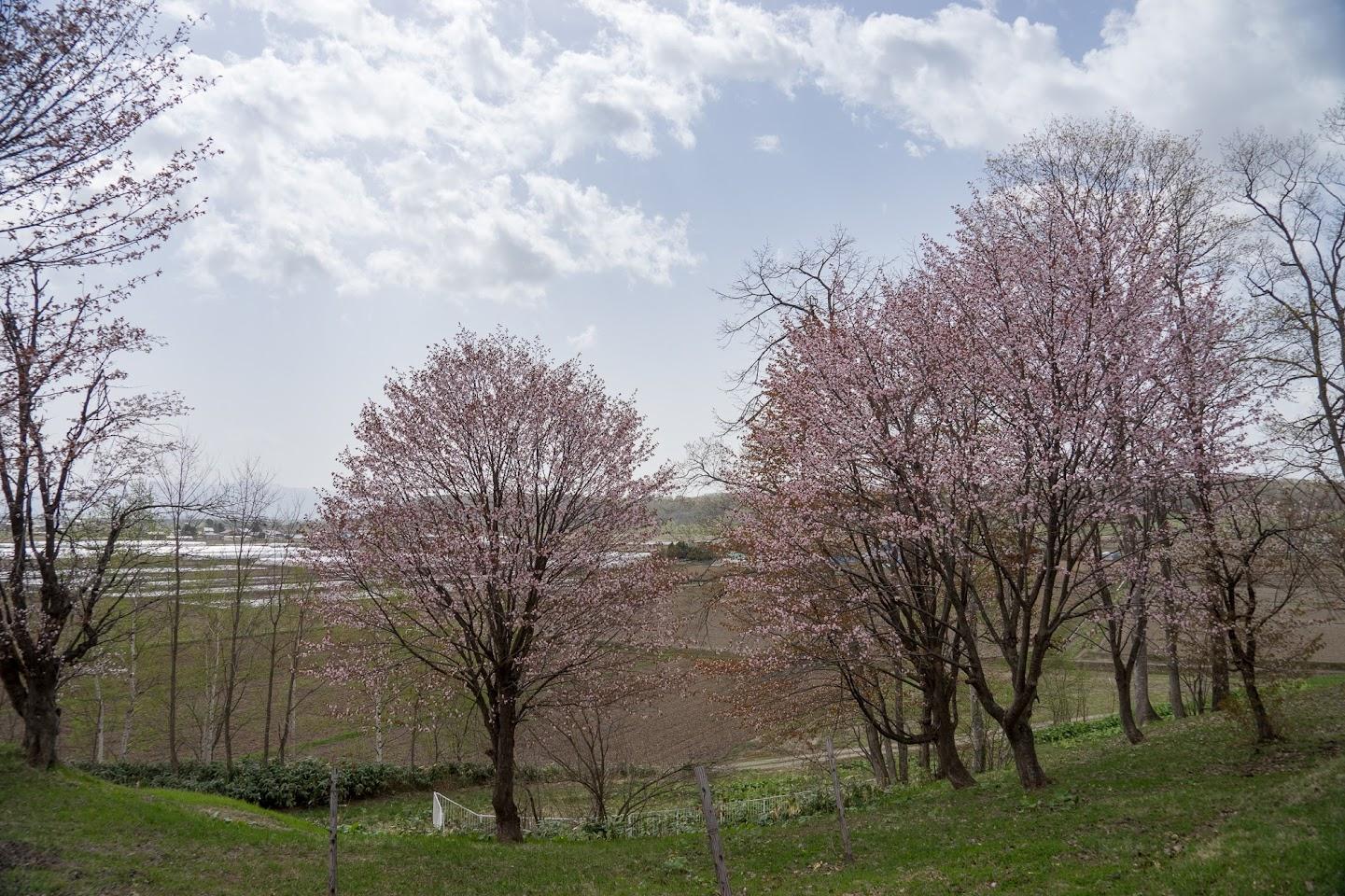 華麗なる桜咲く