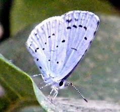 """Photo: """"Pierrot-la-lune"""" ! Argus bleu à bandes noires."""