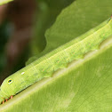 Hawk Vine Moth
