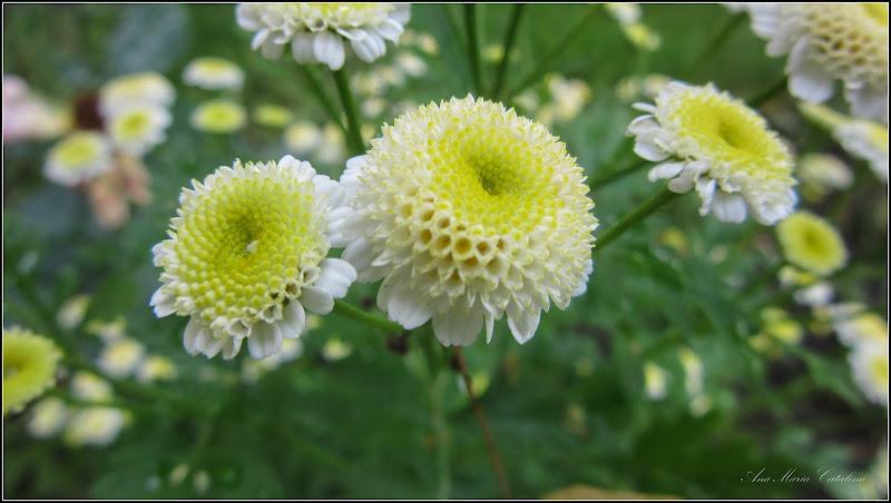Photo: Crizanteme mici (Tanacetum parthenium - Snowball) - de pe Calea Victoriei, B15, spatiu verde - 2017.06.07  Album: http://ana-maria-catalina.blogspot.ro/2017/06/crizanteme-mici-cherysanthemum.html