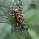 Hispine leaf beetle