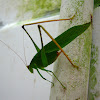 Yellow-legged Katydid