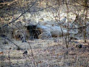 Photo: A huge Asiatic Lion resting at Gir Wildlife Park in Gujarat India