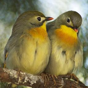 A pair of Red-billed Leiothrix by William Tan - Animals Birds ( animals, birds,  )