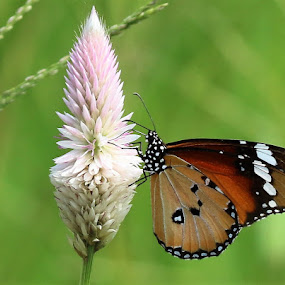 Flowers & Butterfly  by Vivek Naik - Animals Insects & Spiders ( butterfly, flower,  )