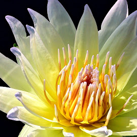 Yellow beauty by Ruth Overmyer - Flowers Single Flower (  )