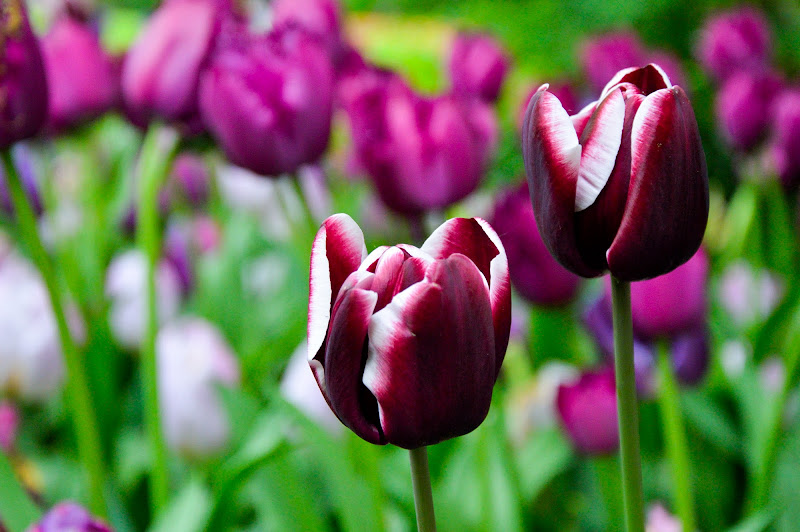 Messer Tulipano di giuliamigl
