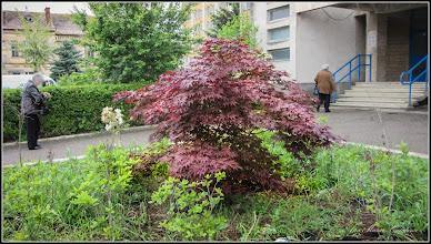 Photo: Arțar roșu (Acer palmatum atropurpurea) - de pe Str. Andrei Muresanu - 2016.06.16 Album http://ana-maria-catalina.blogspot.ro/2016/06/artar-rosu-acer-palmatum-atropurpurea.html