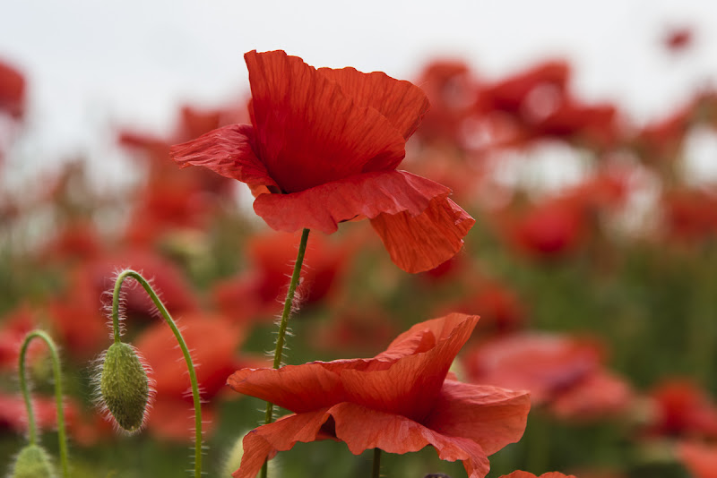 Poppies di Olaf